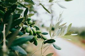Olivenölbaum mit grünen Früchten