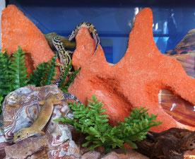 Leopardgecko: Rückwand im Terrarium aus Glas