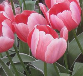 Drei rote Tulpen, Seitenansicht. Bild: Claudia Pichler Mediation Salzburg