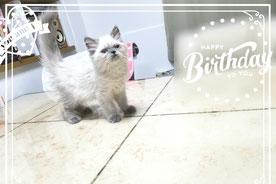 ヒマラヤン子猫の激安販売【関東・埼玉】ブリーダーから直接お迎えで、安心・安い!