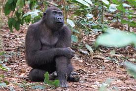 Gorilla (Bild: Heinz Matthee)