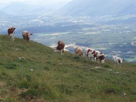 Vaches dans les Alpages du Haut-Jura
