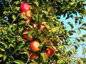 dicht hingen die roten Apfel an den kleinen stabilen Bäumen