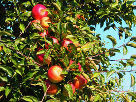 dicht hingen die roten Apfel an den niedrigen Bäumen