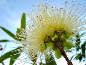 ユーカリシトリオドラの植物写真