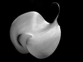 Calla, monochrome silver gelatine print, close up of a single Calla flower white on black background