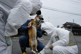 福島県南相馬市で保護され、放射能のスクリーニングを受ける保護犬。