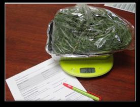 Pesée des échantillons d'herbe