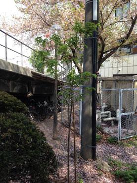 成長した木(周りは後ろの桜の木の花びらのじゅうたん)