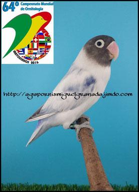 Subcampeón del Mundo Portugal 2016 Matosinhos, personata, personatus pied blue. arlequin linea azul, aviario miguel granada