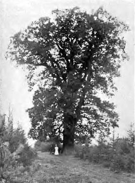 Eiche auf dem Kahlenberg um 1905, Adolf Rörig