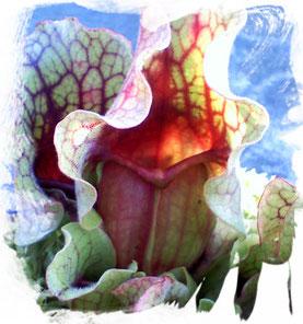 Schlauchpflanze Sarracenia Purpurea
