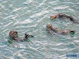 霧多布岬の北に住むオス1頭とメス2頭 写真提供:片岡さん