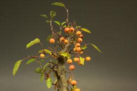Frucht von Malus , Zierapfel Herbst