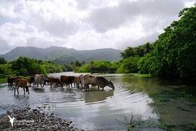 Ravine Vx-Habitants - Guadeloupe