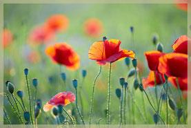 Schöne Mohnblumen als Einstimmung auf den Gästebucheintrag