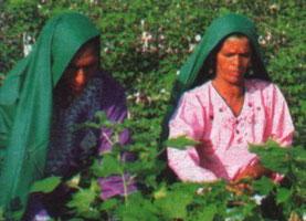 Baumwollpflückerinnen