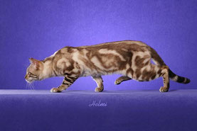 Seal Mink Marbled Bengal