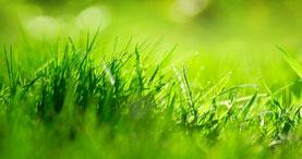 Rasen im Gegenlicht