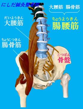 大腰筋 腸骨筋 腸腰筋 骨盤