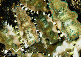 Muschel Tridacna Gigas Giant Clam