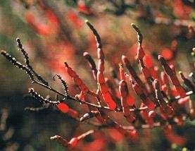 Salicórnia- vegetación endémica de las  Lagunas de la Mata y Torrevieja.