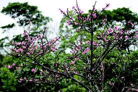 寒さが引き金になるカンヒザクラの開花=9日、バンナ公園