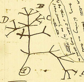 Tree of life von Charles Darwin (1837)