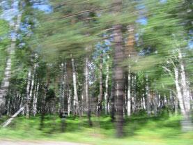 Forêts de Sibérie