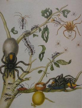 """Kupferstich von Maria Sibylla Merian (1700): die Geburtsstunde des Wortes """"Vogelspinne"""""""