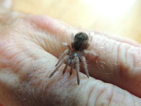 """das will erst noch eine Vogelspinne werden:  ein """"Spiderling"""" von Brachypelma smithi"""