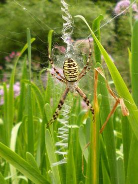 die Wespenspinne Argyope bruenichii - jetzt auch bei uns eingewandert ! Spektakulär - aber völlig harmlos !