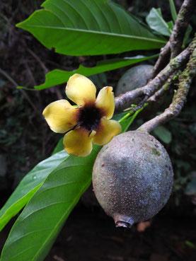 Blüte und Frucht von Genipa americana