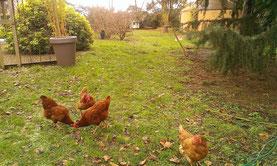 homgaia poules en liberté