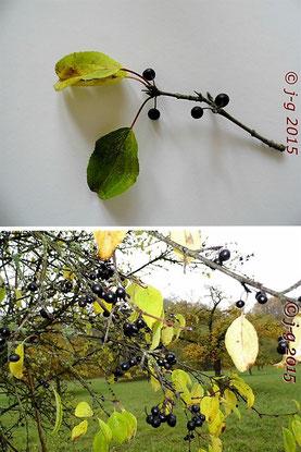 Zweige des Faulbaumes mit reifen Früchten