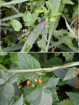 Bild oben: Blüte - Bild unten: unreife Früchte des Bittersüßen Nachtschatten. (Besonders giftig sind die unreifen grünen Beeren.)