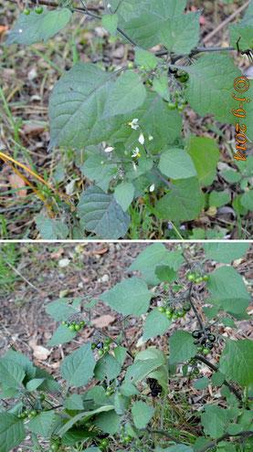 oben: Schwarzer Nachtschatten - Blüte  unten: grüne und schwarze Beeren