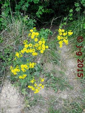 Jakobs-Kreuzkraut - bereits im Juni beginnt die Blüte
