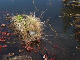 Europäische Sumpfschildkröte beim Sonnenbaden - Teich im Weinheimer Hermannshof