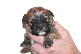 Havaneser in Europa, Havanese puppies in Europe, Havaneser WELPEN/WÜRFE und ZÜCHTER in Europa
