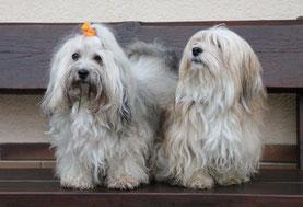 HAVANESER, Havaneser-Vereinszucht in Rheinland-Pfalz, Havanese puppies