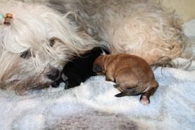 Neugeborene Havaneser Welpen/newborn havanese puppies..., Havaneser Zucht von Michael Koschwitz/Havanese breeding of Michael Koschwitz