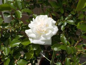 Fさまからいただいたバラ、今年も咲いています。