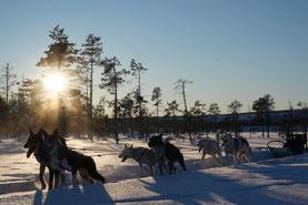 Schlittenhunde bei Ways of Lapland