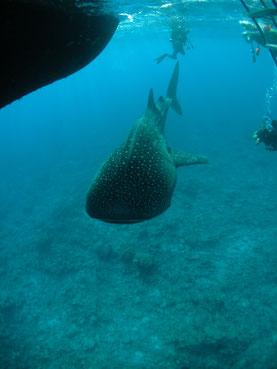 Tiburon ballena. Foto: Tanaka (Lic. CC)