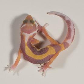 Leopardgecko abzugeben Tangerine Albino Nachzucht 2017