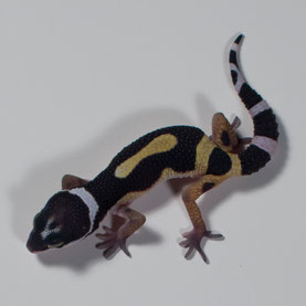 Leopardgecko 'Obsidienne' Black Night cross (Sunset Gecko Nachzucht 2016) Aufnahme: 9.7.2016