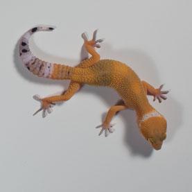 Leopardgecko 'Sunshine' Tangerine (Sunset Gecko Nachzucht 2016) Aufnahme: 5.6.2016