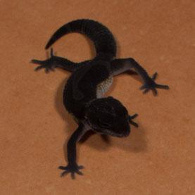 Sunset Gecko 'Vesper' Black Night Nachzucht 2015 und Zuchttier ab 2016. Aufnahme: 5.9.2015.