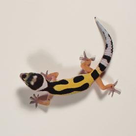 Leopardgecko abzugeben Jungle Bandit Nachzucht 2018